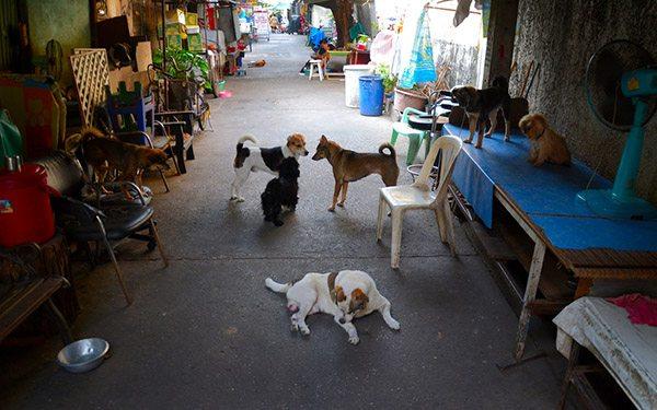 thailand street dogs